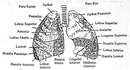 Gambar 1. Lobus Pulmo Sinistra dan dekstra. (Syaifuddin, 1997)